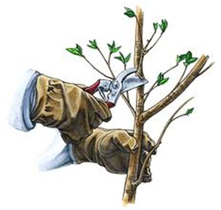 debljanje_stabla