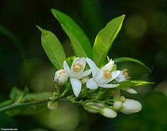 limun cvet