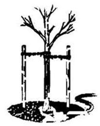 stablo_rasadnik
