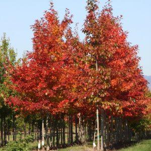 Quercus rubra – CRVENI HRAST